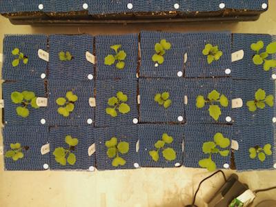 Multi Plant Workflow - PlantCV